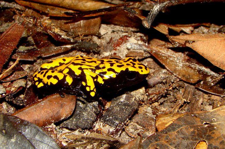 sapos venenosos (Dendrobatídeos) - Amazonia