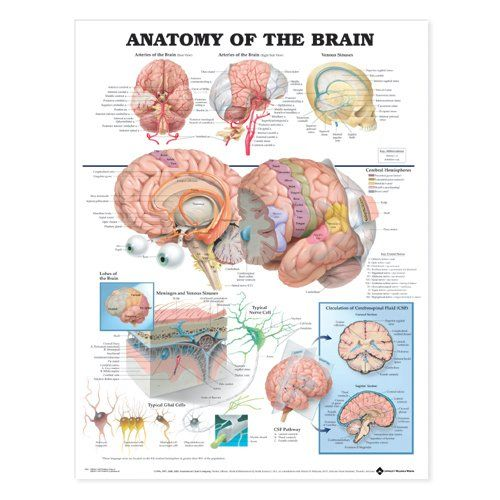 Amazon.com: Anatomy of the Brain Anatomical Chart Laminated: Industrial & Scientific