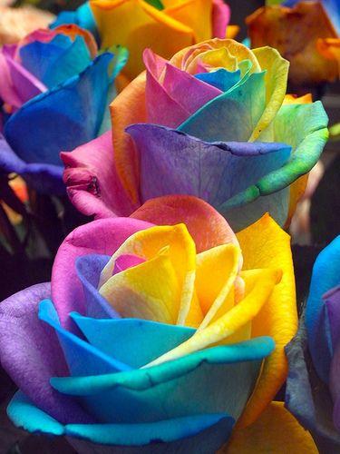 prettylittleflower:    Rainbow Rose 3:虹薔薇 (by love_child_kyoto)