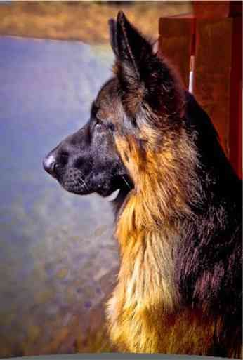 king shepherd=favorite