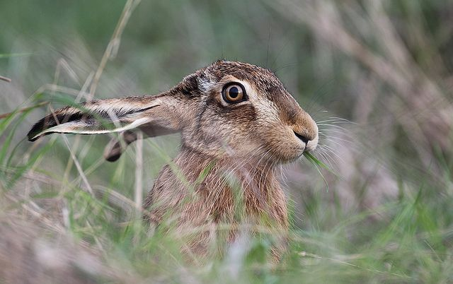 BROWN HARE . ( EXPLORE ) | Flickr - Photo Sharing!