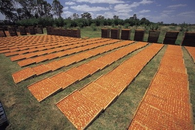 Riverland, South Australia: Summer holidays spent cutting and drying apricots,
