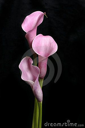 Three Calla Lilies On Black Royalty Free Stock Images - Image: 210569