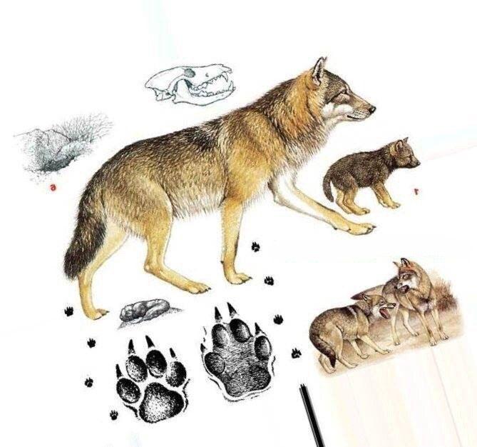 Волк    Всем известно, что серого хищника ноги кормят, приличную часть времени он действительно проводит в поисках пищи, особенно трудно ему приходится в зимний период. В это время он преодолевает иногда за сутки до нескольких десятком километров. Казалось бы, его следы должны встречаться по всюду, но на деле все обстоит совершенно не так. Волка, наравне с рысью и росомахой, можно отнести к самым скрытным животным. Днем их вовсе не встретишь, разве что только в глухих местах и то только в…