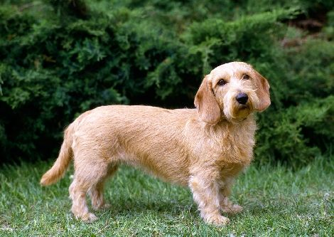 basset fauve de bretagne photo | Animal Photography | Basset Fauve de Bretagne dog stock images ...