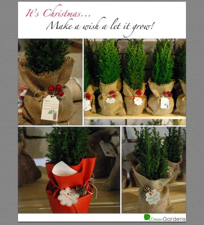 www.dreamgardens.ro//plante marturii evenimente, plante in ghivece, decoratiuni ghivece, aranjamente plante in ghivece, mini plante, plante suculente, ghivece colorate, ghivece metalice, galetuse ghivece, plante Craciun, Craciunite, decor iarna, decoratiuni masa Craciun.  //Christmas plants, christmas table decor, christmas arrangements, pot plants, plants favors, plants decor, coloured pots, mini plants, succulent,  plant wedding favors, garden indoor, gardening, garden love, garden…