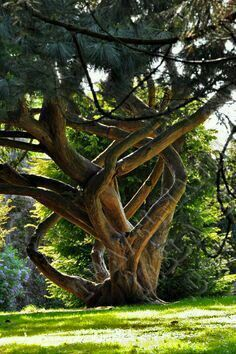 Old tree in Ireland