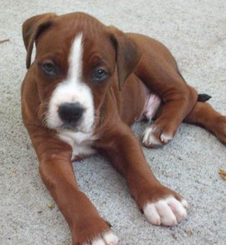 Pitbull And Boxer Mix Puppy                                                                                                                                                                                 More