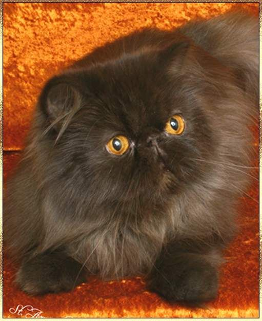 Chocolate Persian - My Hershey was a chocolate Persian.