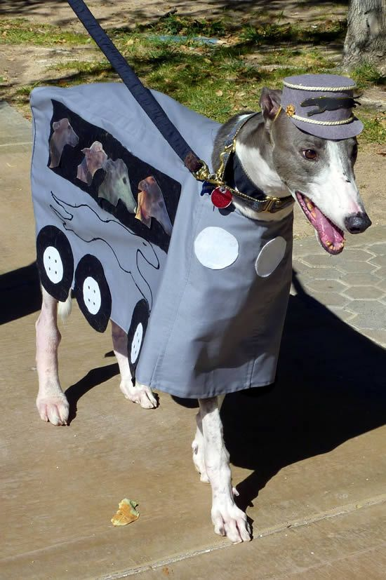"""HaHa """"HA-LARIOUS""""!  This Greyhound is dressed as a Greyhound Bus!!! I hope he gets lots of """"treats"""" and performs lots of """"tricks""""!  giggles"""