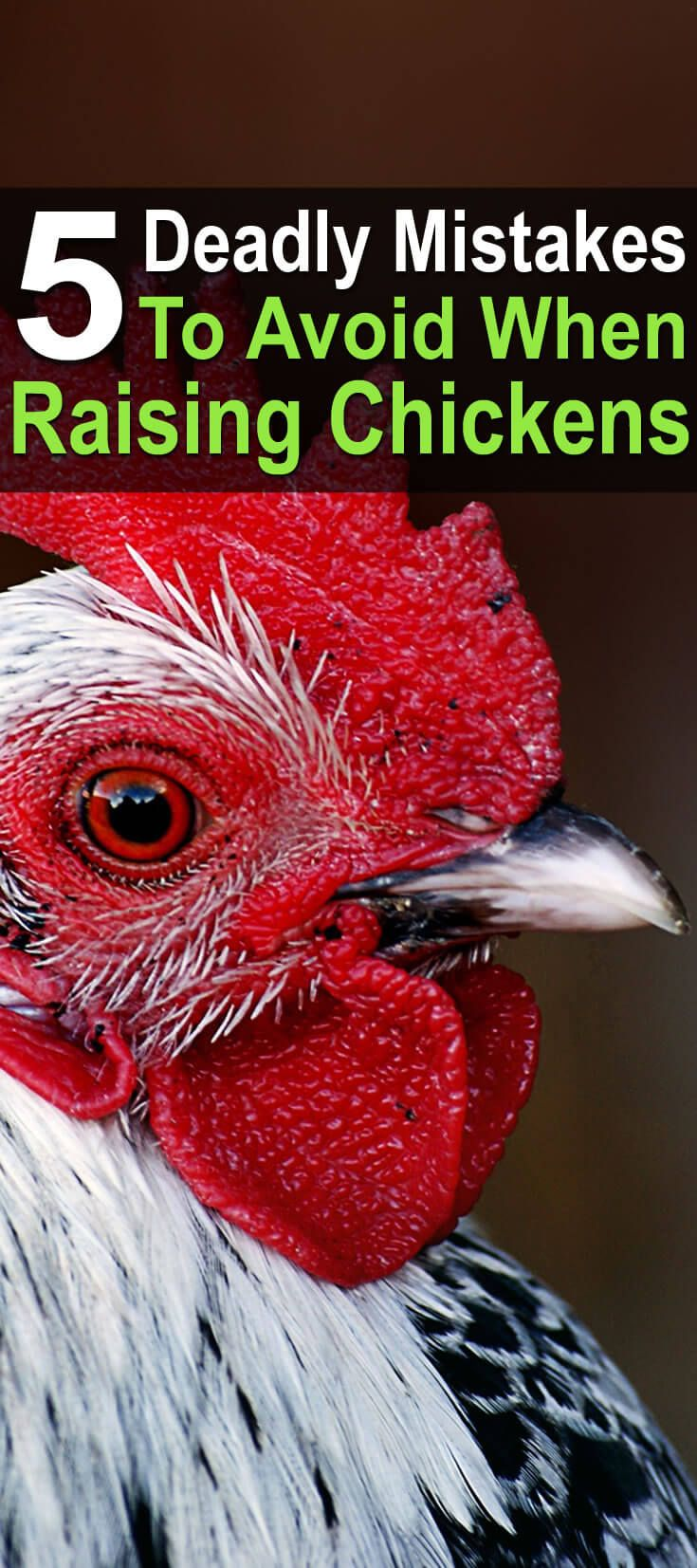 In this episode of Becky's Homestead, she talks about mistakes to avoid when raising chickens. Neglecting these could lead to unhealthy or dead chickens.