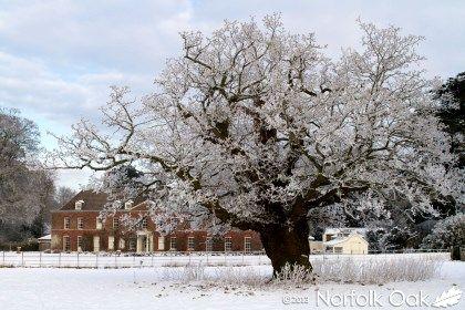 anmer hall oak tree