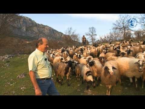 Frigående får och getter ger den godaste mjölken. Här besöker Frixos Grevena i norra Grekland för att titta hur Fontanas ekologiska fetaost blir till.