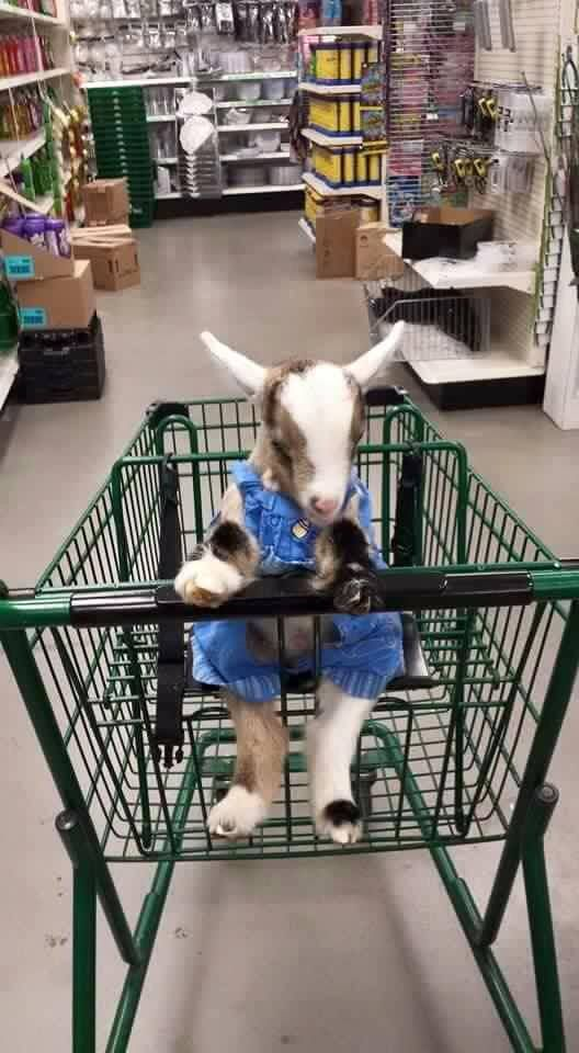 baby goat, dressed, in a shopping cart