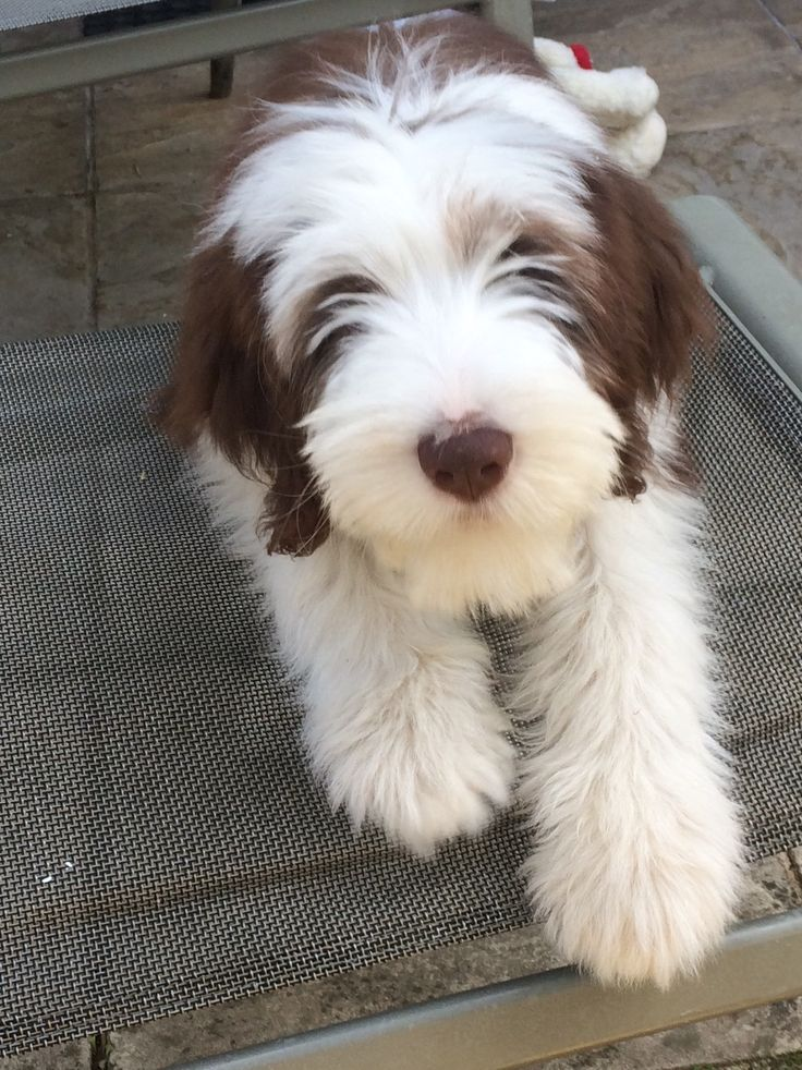 Poppy the bearded collie