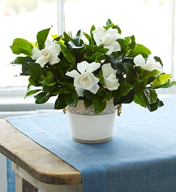 My mother's favorite flower. I would fill a table with pots of fresh gardenia flowers for her.