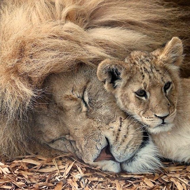 Lion with a cub. Father and son   Photography by Paul Mansfield