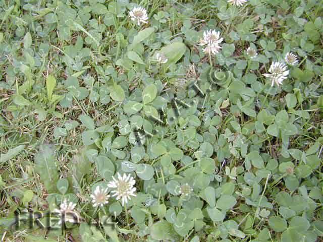 Le trèfle blanc est une plante herbacée vivace, rampante, qui pousse en plaine ainsi qu'en montagne (jusqu'à 2750 m.) Très commun, il s'adapte à tous les types de sols, on le trouve dans les prés, les pelouses, les talus, sur le bord des routes ou des chemins, avec une petite préférence pour les sols bien drainés. Les tiges atteignent 10 à 40 cm. Les feuilles sont constituées de trois folioles elliptiques, souvent marquées d'un croissant plus clair. Il fleurit d'avril-mai à septembre.