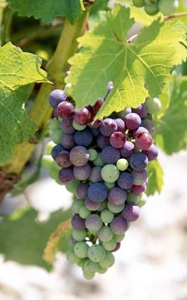 Pinot Grigio İtalya'nın dünyadaki en popüler beyaz üzümlerindendir. Şarabı, açık altın sarısı, yüksek asitli ve yüksek alkollü yapar. Bu üzümden yapılan şaraplarda mineral, baharat, bal, amber çiçeği, egzotik kokular ve tropik meyve aromaları sunar. Veneto bölgesinde yetişen pinot grigiodan kavundan armut aromasına kadar hatta tropik meyve aromalarını bulmak mümkündür. Altın yansımalarıyla soluk saman sarısı renginde olan Pinot Grigio; içimi kolay asit oranı yüksek çok ferahlatıcı bir…
