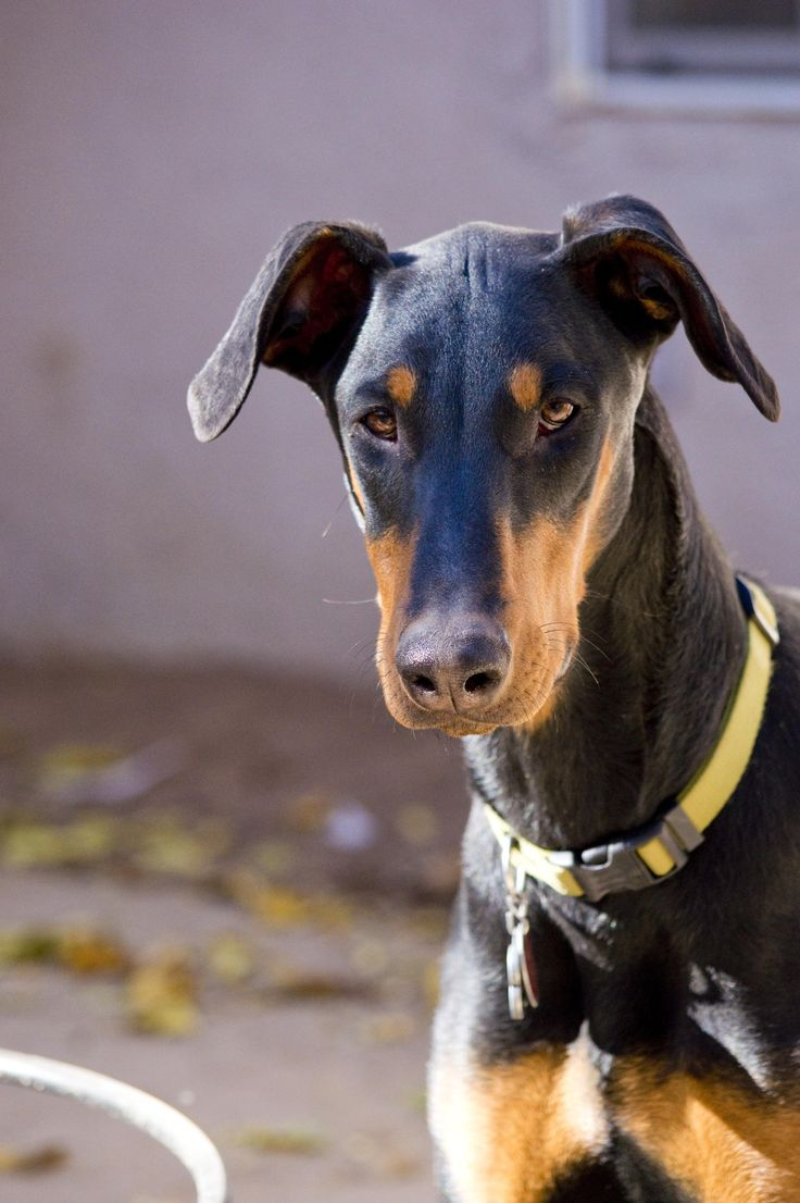 Doberman Pinscher with Natural Ears (Uncropped, As Nature Intended Them To Be). ♡
