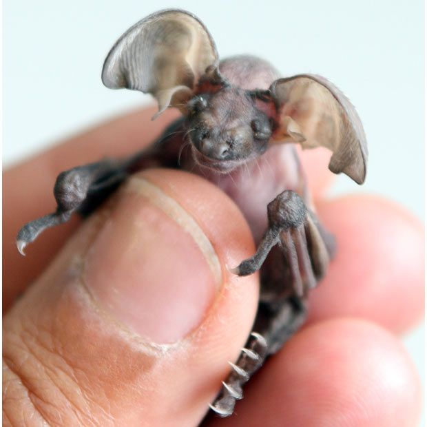A baby long-eared bat is hand-reared at Secret Animal Rescue in Somerset. Its ears - not fully formed yet - will eventually sit on the top of its head, not the sides