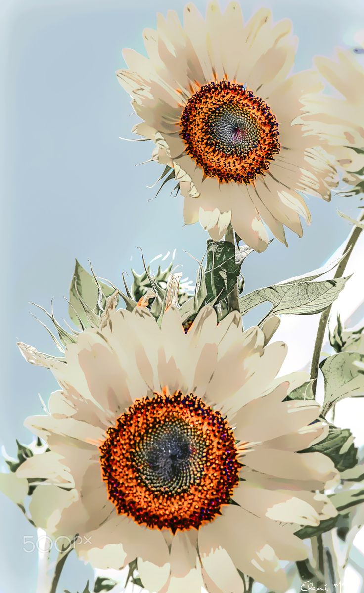 Spring Fantasy - Sunflowers in bloom in direction to the sun with a touch of  Spring Fantasy.