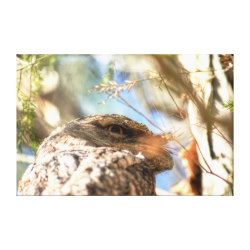 TAWNY FROGMOUTH RURAL QUEENSLAND AUSTRALIA