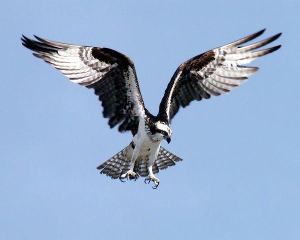 OSPREY BIRD PREPARING TO DIVE 8X10 PHOTO BIRD OF PREY