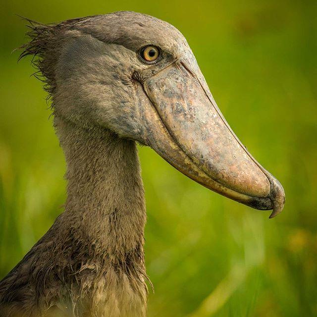 Another stunning bird shot by Uri Golman, this time of a #Shoebill Stork in #MurchisonFalls, #Uganda.   For trips to Uganda contact us on reservations@wildfrontiers.com   #birds #birding #Uganda #stork #africa #safari #photography #nile #nileriver