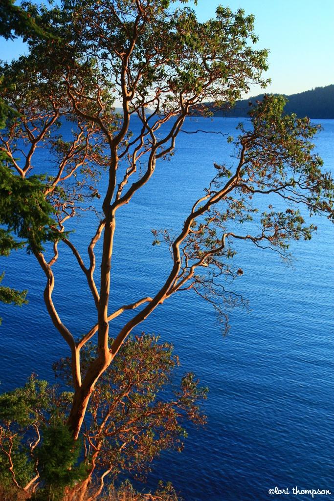 Madrone tree... Orcas Island, Washington