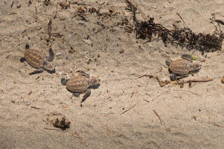 Hatchlings laid by endangered turtle at East Coast released, Environment News & Top Stories - The Straits Times