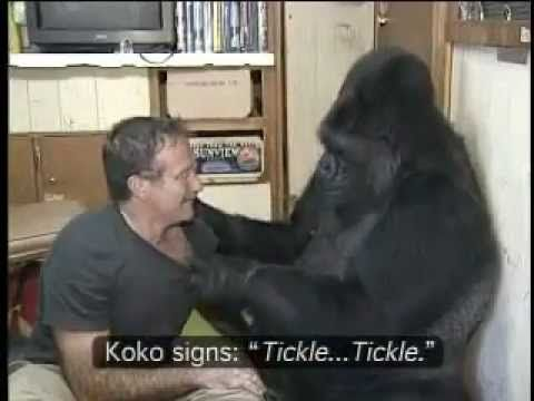 A few years ago, comedian and actor Robin Williams spent time with Koko, an amazing gorilla who is fluent in American Sign Language. His visit ended up in a sweet interspecies tickle fight. video v...