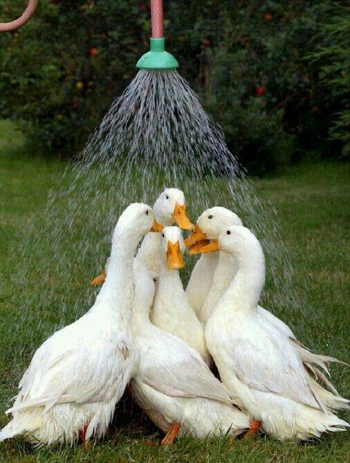 Aves duchándose