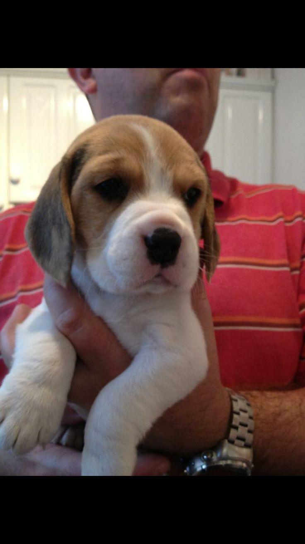 Puppy beagle Jed