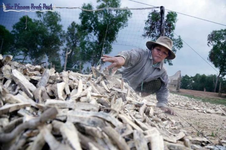 #CAMBODIA #SWD #GREEN2STAY A woman sifts through a pile of dried cassava in Pursat province last year. Hong Menea