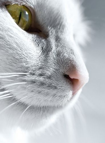 White cat, close up