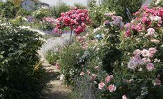 Mit den passenden Begleitpflanzen wird der Rosengarten zu einem echten Blickfang