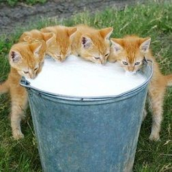 Kittens at the milk pail. Adorable.<3