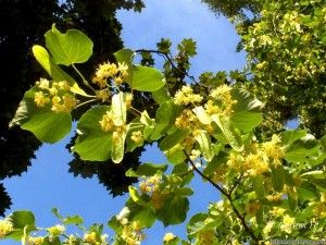 Linden Tea also known as tea de tila benefits - good for insomnia, fighting against colds, my fav tea..relaxing