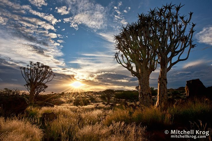 Quiver Tree Forest at Sunset - Namibia by Mitchell Krog on 500px