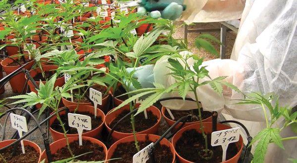 Dort hat nun nämlich die in Montevideo angesiedelte medizinische Hochschule der Universität der Republik ein eigenes Labor eingerichtet, das sich ausschließlich mit den Drogen-Eigenschaften, der Genetik, dem medizinischen Nutzen sowie den Nebenwirkungen von Cannabis beschäftigt.