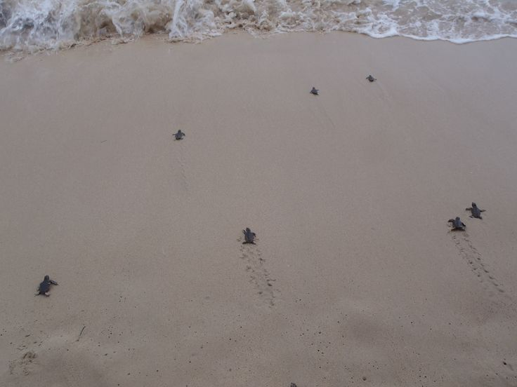 Newly hatched baby turtles race from their nest to start life in the sea.