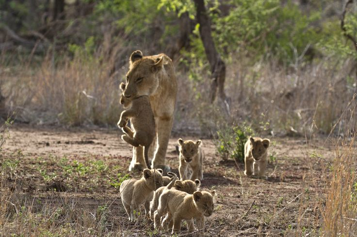 Mountain pride lioness carrying a youngster with siblings leading the way @Singita
