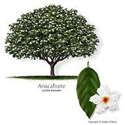 Texas tree planting guide-Anacahuite Tree above.  These grow all over San Antonio - they're absolutely beautiful