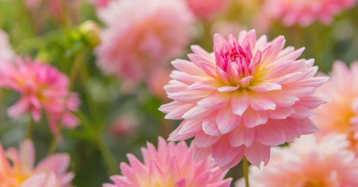 De dahlia (Dahlia) is een prachtige, kleurrijke plantdie veel voorkomt in de Nederlandse tuin. Die populariteit is niet vreemd, want de dahlia kent een lange bloeiperiode. Het is dan ook niet gek dat jij deze vrolijke bloeier graag in jouw tuin wilt hebben. Hoe dahlia bollen planten in pot in zijn werk gaat, lichtenwe in