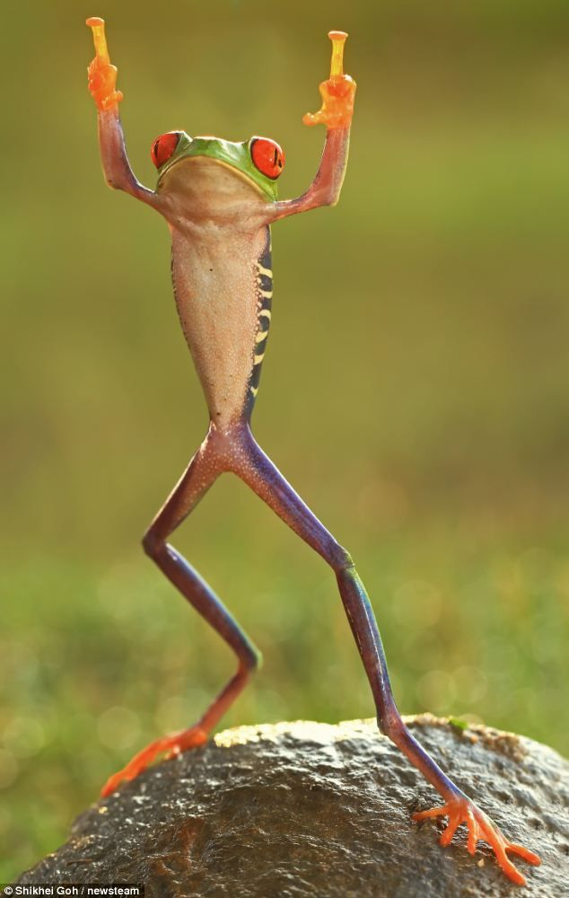 Not only can this frog stand on two legs, but it seems it can do so, while flipping the proverbial double bird