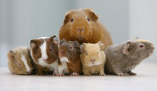 Avalon Guinea Pig Rescue by AvalonGPR, via Flickr