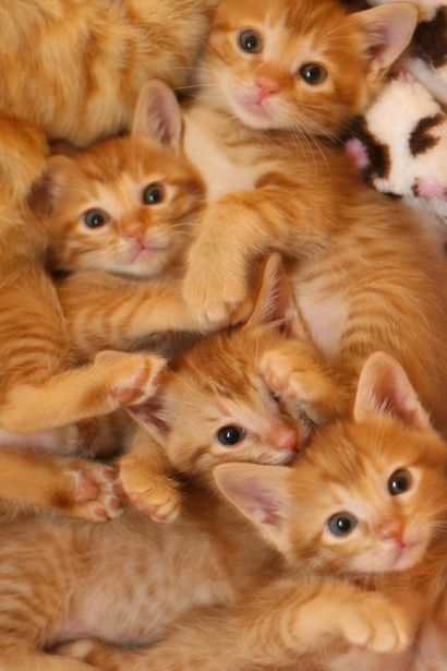 A Clowder of Gorgeous Orange Tabby Kittens  ♥