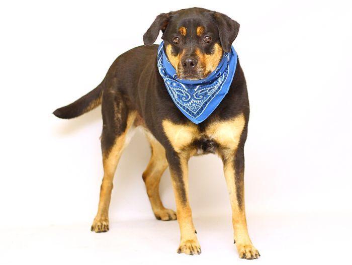 Adopt Rocky On Petfinder Dog Breeds Rottweiler Dogs