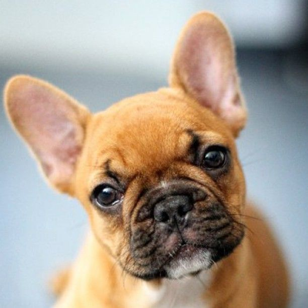 fawn french bulldog... I really do think I want one of these dogs. Sooo cute.